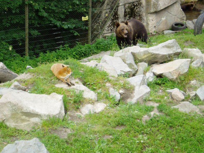 A brown bear and a red fox in Skansen